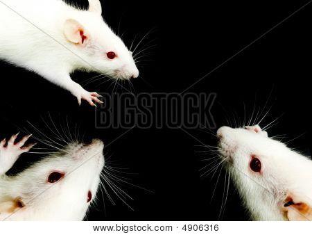 White Rat Trio