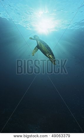 Raja Ampat Indonesia Pacific Ocean hawksbill turtle (Eretmochelys imbricata) swimming in sunbeams shining through water surface low angle view poster