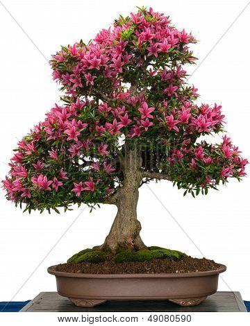 Pink Flower Of A Azalea Bonsai Tree