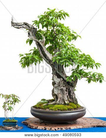 Cornel Cherry (cornus Mas) As Asian Art Of A Bonsai Tree