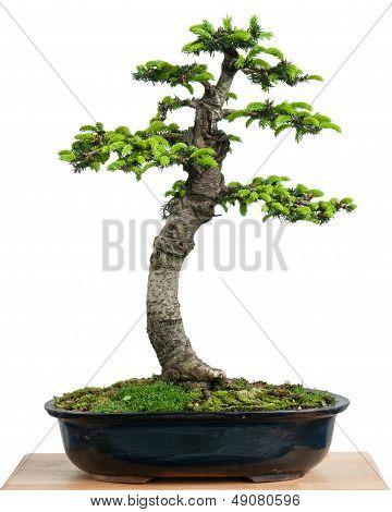 Spruce (picea Orientalis) As Bonsai Tree In A Pot