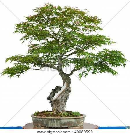 Japanese maple tree (Acer palmatum) as bonsai in a pot poster