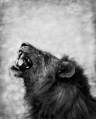 Black and Wite image of a Lion Displaying Teeth poster