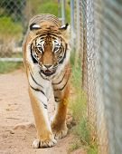 A Close Portrait of a Bengal Tiger Pacing in a Zoo Cage poster