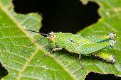 Green and black-white spot short-horned grasshoppers on leaf poster