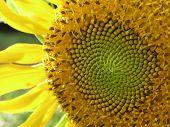 macro shot of a sunflower poster