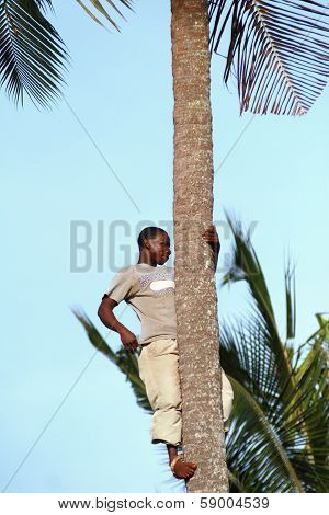 African Man, About 25 Years Old, Climbed A Palm Tree.