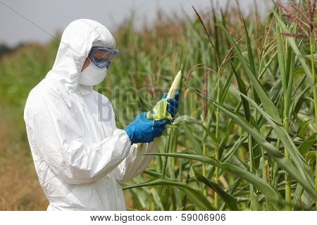 GMO,profesional in uniform goggles,mask and gloves examining  corn cob on field