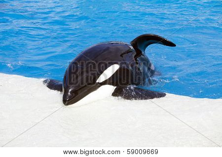 Killer whale in blue water