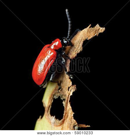 Red Lily Beetle On Damaged Leaf