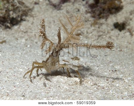 Hydroid Decorator Crabs