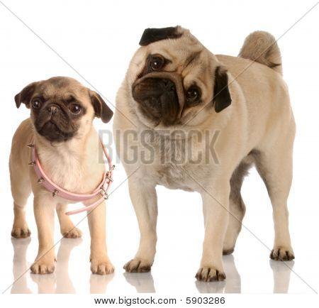 Pug And Pug Puppy