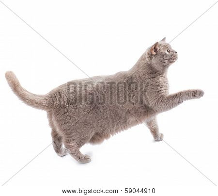 British Cat Walking Isolated On White