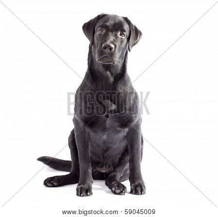 Black Labrador Dog Isolated On White