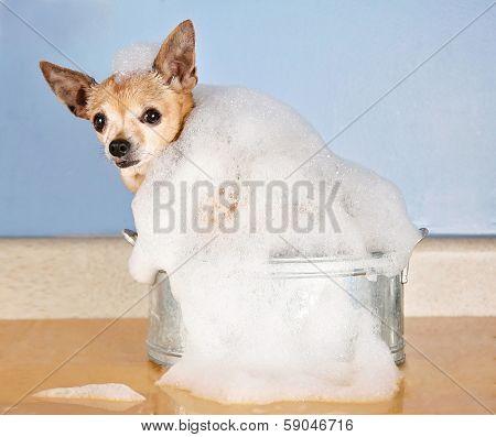 a cute chihuahua in a bath tub with bubbles