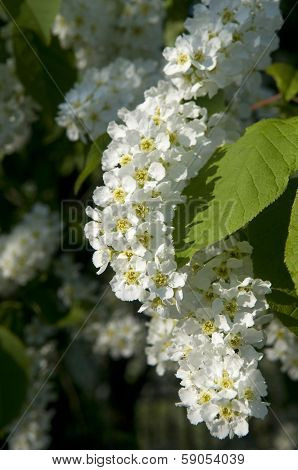 Hackberry Flowers
