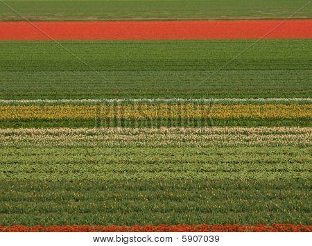 niederländische Feld