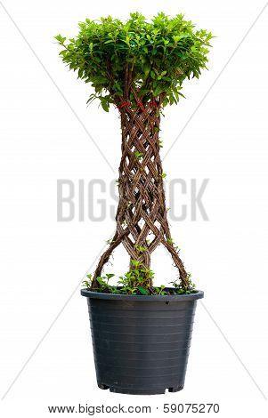 Bonsai Willow Tree