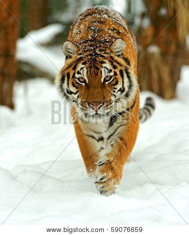 Portrait Of A Siberian Tiger