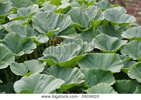 Pumpkin Plant Patch
