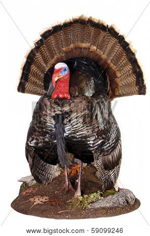 taxidermy of a male (Tom) turkey in full strutt
