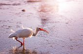 White Ibis  in a Shallow Pond - Florida poster