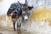 Donkey standing in an alley in Morocco, Africa poster