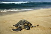 Green sea turtle on beach, North Shore of O'ahu, Hawaii poster