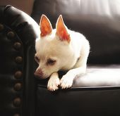 a cute chihuahua on a couch (high key natural light shot) poster