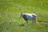 Single Male Scimitar-horned oryx in green field poster