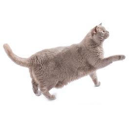 British Cat Walking Isolated On White