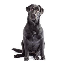 Black Labrador Dog Isolated On White