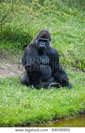 Female Silver Gorilla