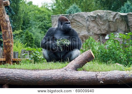 Gorilla With A Sprig