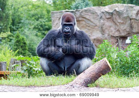 Male Gorilla