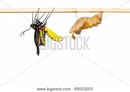 Close up of newly born male golden birdwing (Troides aeacus) butterfly just after its emerging, isolated on white background with clipping path poster