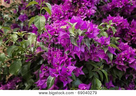 Bougainvillea glabra: glossy dark green leaves and glorious magenta floral bracts. poster