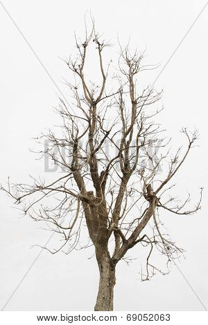 Dead tree ,Single old and dead tree isolated on white background