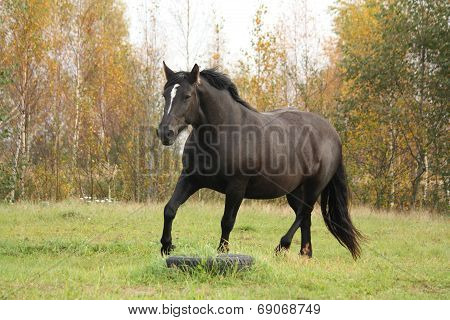 Black Percheron Trotting At The Pasture