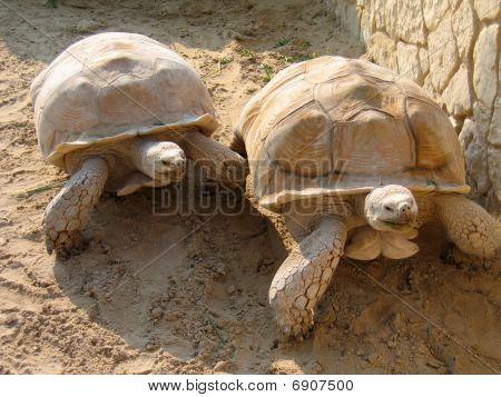 Racing turtles