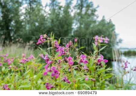 Violet Blooming Himalayan Balsam From Close