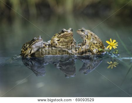 Frogs Sitting on Rock