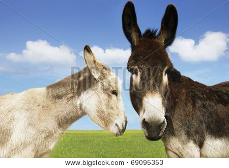 Closeup of white and brown donkeys in the field against sky
