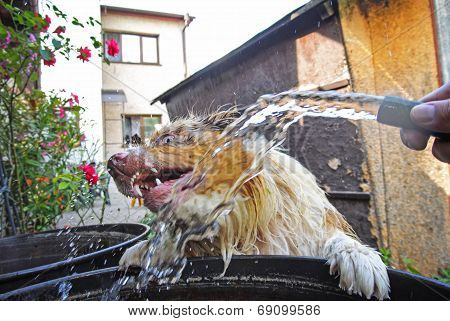 Dog dodge before water stream from garden hosepipe when is leaning against barrel poster