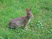 One of the rabbits who frequent my yard listens intently before scampering off to its home wherever that may be. poster