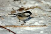a black capped chickadee in the winter snow poster