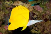 Yellow Longnose Butterfly (Forcipiger flavissimus) in Aquarium poster