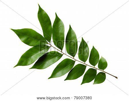 Starfruit Leaf