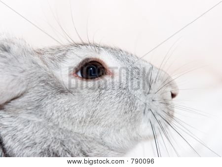 Close up grey rabbit head poster