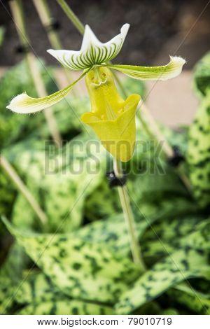 Paphiopedilum Flower